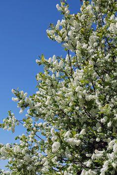 File:Prunus padus Rauma.jpg