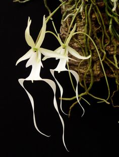 Dendrophylax lindenii - the Ghost Orchid - - Slippertalk Orchid Forum- The best slipper orchid forum for paph, phrag and other lady slipper orchid discussion! Rare Flowers, Exotic Flowers, Ghost Orchid, Orchid House, Lady Slipper Orchid, Florida Plants, Best Slippers, Orchidaceae, White Orchids