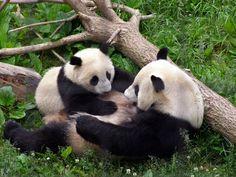 Tai Shan and Mei Xiang (photo by Nikon~Dolll) #panda