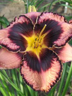 Hemerocallis 'Simmons Overture' Daylily