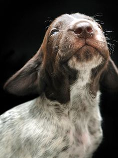 LOOKING UP Only a few weeks old and this German shorthaired pointer already knows to hold his head up high!