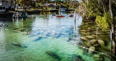 Manatees at Crystal River yesterday #manatee