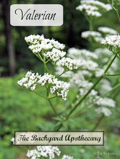 Commonly used as a sleep aid and relaxant, valerian also makes a nicely fragrant ornamental!
