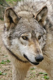 PA Wolf Sanctuary  - great folks doing great work!  We adopted a wolf, you can too!  #animal welfare is our passion.