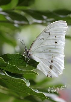 A moth is dressed for its wedding day :) ~~Morpho Polyphemus (White Morpho) Butterfly by Morpho Butterfly, White Butterfly, Butterfly Flowers, Beautiful Butterflies, Butterfly Pictures, Butterfly Kisses, Butterfly Wings, Madame Butterfly, Cabbage Butterfly