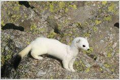 Arminho - doninha do Ártico :)