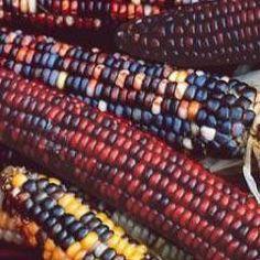 Wade's Giant Indian Flint Corn Heirloom Seed