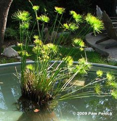 How to make a container pond in a stock tank - Digging Water Plants For Ponds, Water Garden Plants, Pond Plants, Growing Plants, Indoor Plants, Container Pond, Container Water Gardens, Patio Pond, Ponds Backyard