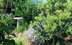 Acer macrophylla - Bigleaf Maple, Garrya elliptica 'James Roof' - James Roof Silktassle, and Heteromeles arbutifolia - Toyon