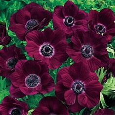 Poppy Anemone Burgundy - gorgeous color.  On the edge of being Iowa hardy - zone 6-10 (we're in 5b/6a)