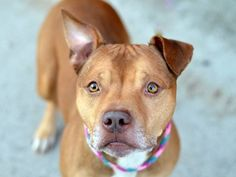 TO BE DESTROYED - 10/9/14 Brooklyn Center  My name is HARVEY. My Animal ID # is A1016021. I am a male tan and white pit bull mix. The shelter thinks I am about 2 YEARS   **$150 DONATION to the NEW HOPE RESCUE that pulls!**  I came in the shelter as a STRAY on 10/01/2014 from NY 11412, owner surrender reason stated was STRAY. https://www.facebook.com/Urgentdeathrowdogs/photos/a.611290788883804.1073741851.152876678058553/882277735118440/?type=3&theater