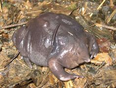 The bizarre purple frog (Nasikabatrachus sahyadrensi) is one of the wonders of the Western Ghats. Only discovered in 2003, it spends most of its life underground. Photo by: Karthick Bala.