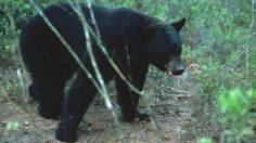 Despite opposition from animal rights campaigners, Florida holds its first bear hunt in more than two decades.
