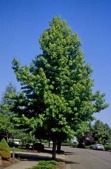 Image result for rotundiloba sweetgum tree