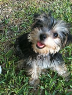 Morkie pup........Our Miley is ALWAYS a happy girl!
