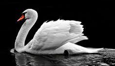 Cisne, Água, Branco, Ave Aquática