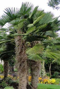 Trachycarpus wagnerianus. Palmier nain, résistant à -18°C