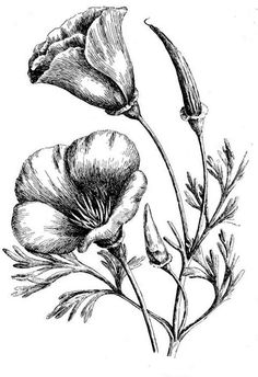 California Poppy, : Amazing Picture of California Poppy Coloring Page