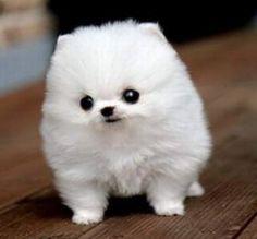 34 Best White Pomeranian Images Cute Puppies Pomeranians Cubs