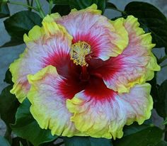 Simple Pleasures Tropical Hibiscus Plant in 4 5 Pot   eBay  ~  Hibiscus 'Simple Pleasures' has a 8 inch light pink flower with a wide red center and a wide yellow edge. Introduced in 2004 by Charles Black in California; 'High Voltage' X unknown