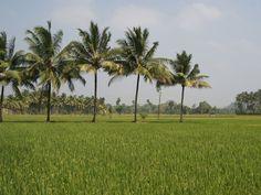 reisfeld kokospalmen