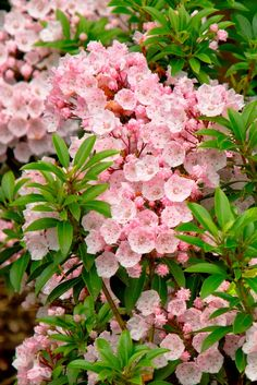 Kalmia latifolia/Mountain Laurel. There are full-size if we need to fill a large space and dwarfs for more compact areas. These evergreen shrubs look tidy year-round. They have the coolest red to pink flowers that fill the plant in Spring. You'll want to get up close to see the color detail in them....