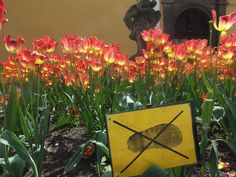 Tulips in the City (Nature)