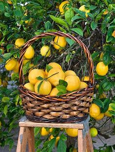 Growing fruit trees in your backyard may seem complicated, but with the right backyard orchard how to, you could have fresh lemons before you know it. Get your backyard orchard knowledge and get started growing fruit trees today. Click the pin! Citrus Trees, Fruit Trees, Organic Gardening, Gardening Tips, Meyer Lemon Tree, How To Grow Lemon, Fast Growing Trees, Fruit Photography, Grow Your Own Food