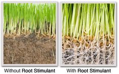 Would you like to increase the amount of your root growth?  We are pleased to offer the exciting new 100% Organic Root Stimulant: Nitrozyme. These Organic Root Stimulant Treatments maximize your lawn's root growth and density as well as nutrient and water absorption. Over time, these organic treatments should allow us to further reduce the amount of fertilizers and pest control products needed to provide you with a beautiful lawn! Contact ProLawnPlus of Maryland for our Root Stimulant…
