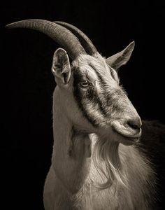 Here is a series of portraits by Washington-based photographer Kevin Horan. Unusual, this series of portraits on black background celebrates the farm animals kn Farm Animals, Animals And Pets, Funny Animals, Strange Animals, Amazing Animals, Goat Art, Photo Animaliere, Animal Magnetism, Tier Fotos