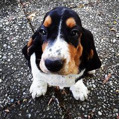 Basset Puppies, Cute Puppies, Cute Dogs, Red Tick Coonhound, English Coonhound, Hounds Of Love, Dog Mixes, Bassett Hound, Hound Dog