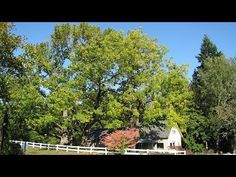Did you know 90% of chestnuts bought in this country are imported? Over 100 years ago a blight nearly wiped out all the American chestnuts. Learn more in the video: One of the Largest Remaining American Chestnut Trees in North America