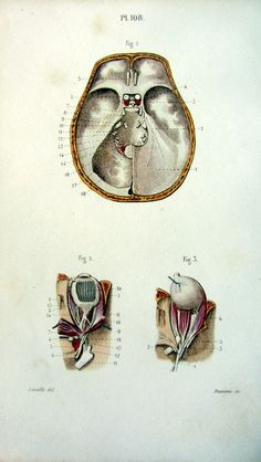 1852. Anatomie. Pl. 108. Dessin : Jean-Baptiste Léveillé. Gravure : Davesne.