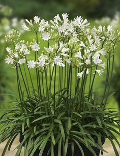 Nieuwe potplant, Agapanthus L'Amour d'été, prachtig als patio plant voor in de tuin. Saiba mais sobre Lendas da Músicas no E-Book Gratuito – 25 VOZES QUE MUDARAM A HISTÓRIA DA MÚSICA em http://mundodemusicas.com/vozes-musica/