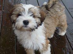 tibetan terrier - Google Search