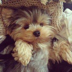 Cute Yorkie...