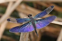 purple dragonfly | Flickr - Photo Sharing!