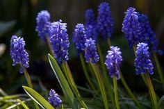 Eigen tuin blauwe druifjes