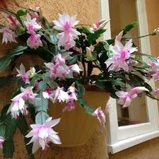 A beautiful holiday plant (botanically known as Schlumbergera or Zygocactus), the Christmas Cactus unsurprisingly blooms at Christmas and also sometimes around Easter time if cared for properly. A month prior to Christmas you will be able...