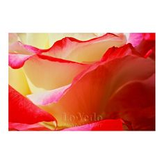 Garden Rose Photo Wavy Petals Red Edges Creamy Flower Macro Photography by LoVedoArt