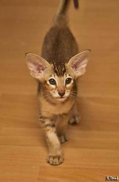 Cat Facts: 5 Amazing Facts About Your Cat's Ears – cat breeds Pretty Cats, Beautiful Cats, Animals Beautiful, Cute Animals, Oriental Shorthair Kittens, Siamese Cats, Cats And Kittens, Werewolf Cat, Kitten Breeds