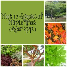 One of the most familiar genera of trees is maple (Acer). These trees and shrubs are famous for their fall colors and delicious syrup.