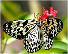 Resultados da Pesquisa de imagens do Google para http://cdn.mundodastribos.com/351429-borboleta-2.jpg