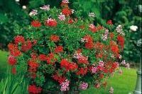 Fleurs - Semer les géraniums