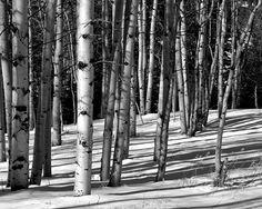 Aspen trees snow black and white B&W Colorado landscape photograph print 11x14