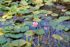 https://flic.kr/p/9TKCMh | Teichrosen  #Flickr #Foto #Photo #Fotografie #Photography #canon #Travel #Reisen #德國 #照片 #出差旅行 #Natur #Nature
