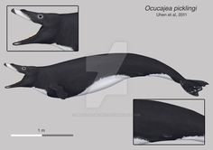 Depiction of Ocucajea picklingi, a basilosaurid from Peru, probably the smallest basilosaurid known( around 3m). This was my entry for Illustraciencia contest. References: *M. D. Uhen, N. D. Pyenso...