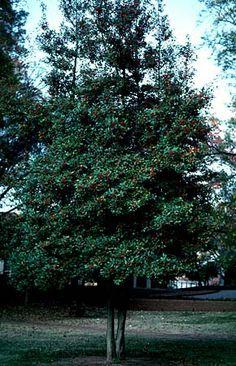 Mature tree -Ilex vomitoria