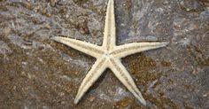 Cómo encontrar estrellas de mar . Para muchos, encontrar criaturas vivientes es la mejor parte de visitar el océano. No solo es entretenido, sino una buena manera para enseñar a los más pequeños sobre la vida marina. La estrella de mar es una de las favoritas de los visitantes de las playas de todas las edades.