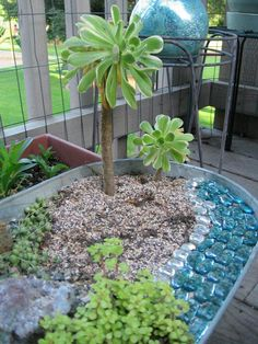 Succulent substitute for mini palm trees. Takes a while to grow, but a good replica.